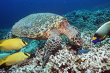 Hawksbill Turtle Feeding Photographic Print by Georgette Douwma
