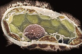 Plant Cell, SEM Posters by Dr. David Furness