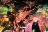 Durban Hingebeak Shrimps Photographic Print by Georgette Douwma
