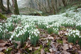 Snowdrops (Galanthus Nivalis) Photographic Print by Bob Gibbons