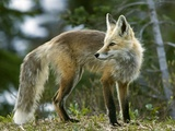 Cascade Red Fox Photographic Print by Bob Gibbons