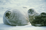 Weddell Seals Photographic Print by Doug Allan