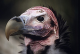 Lappet-faced Vulture Photographic Print by David Aubrey