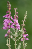 Dorset Heath (Erica Ciliaris) Photographic Print by Bob Gibbons