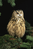David Aubrey - European Eagle Owl Fotografická reprodukce