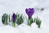 Crocus Flower In the Snow Photographic Print by David Aubrey