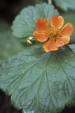 Avens (Geum 'Georgenberg') Photographic Print by Maxine Adcock