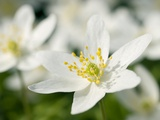 Wood Anemone (Anemone Nemorosa) Photographic Print by Adrian Bicker