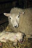 David Aubrey - Ewe And New Born Lamb - Fotografik Baskı