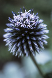 Globe Thistle 'Veitch's Blue' Photographic Print by Maxine Adcock
