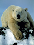 Polar Bear Photographic Print by Doug Allan