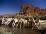 Dromedary Camels Drinking Photographic Print by Doug Allan