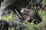 Common Toad Prints by David Aubrey