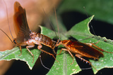 Blattellid Cockroach Courtship Photographic Print by Dr. George Beccaloni