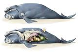 Whale Anatomy Photo by Jose Antonio