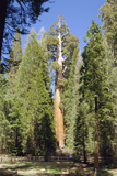 Giant Sequoia Photographic Print by Diccon Alexander