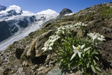 Edelweiss And Glacier Photographic Print by Dr. Juerg Alean