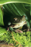 White-lipped Frog Photographic Print by David Aubrey