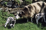 Jacob Sheep Posters by David Aubrey