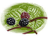 Blackberries, Woodcut Photographic Print by Gary Gastrolab