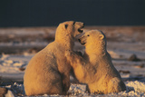 Polar Bears Photographic Print by Doug Allan