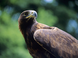 Golden Eagle Photographic Print by David Aubrey