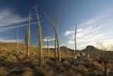 Boojum Trees (Fouquieria Columnaris) Photo by Bob Gibbons