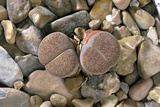 Lithops Lesliei Var. Mariae Photographic Print by Vaughan Fleming