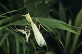 Praying Mantis with Its Shed Skin Photographic Print by David Aubrey