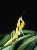 Praying Mantis Photographic Print by David Aubrey