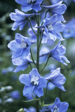 Delphinium (Delphinium Belladonna Group) Photographic Print by Maxine Adcock