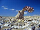 Desert Rose Tree Premium Photographic Print by Diccon Alexander