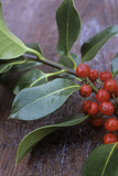Holly (Ilex Aquifolium) Photo by Maxine Adcock