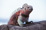 Marine Iguana Photo by Doug Allan