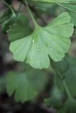 Maidenhair Tree Leaf (Ginkgo Biloba) Photographic Print by Maxine Adcock
