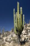 Cardon Cacti (Pachycereus Pringlei) Posters by Bob Gibbons