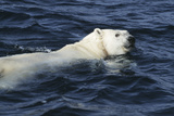 Polar Bear Swimming Photographic Print by Doug Allan