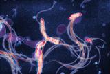 Spirochete Bacteria, TEM Prints by Hazel Appleton