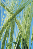Barley Photographic Print by David Aubrey