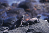 Marine Iguanas Prints by Doug Allan