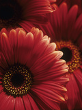 Gerbera Flowers Photographic Print by Adam Gault