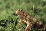 Common Frog Photo by David Aubrey