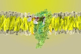 Cannabinoid Receptor Binding, Artwork Photographic Print by Ramon Andrade