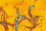 Spirochete Bacteria, TEM Poster by Hazel Appleton