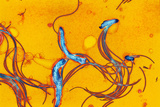 Spirochete Bacteria, TEM Photographic Print by Hazel Appleton