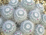 Mammillaria Geminispina Photographic Print by Vaughan Fleming