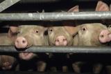 Schweine Fotografie-Druck von David Aubrey