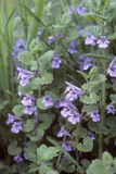 Ground Ivy (Glechoma Hederacea) Photographic Print by Maxine Adcock