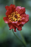 Avens (Geum 'Mrs Bradshaw') Photographic Print by Maxine Adcock