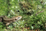 Common Lizard Photographic Print by David Aubrey